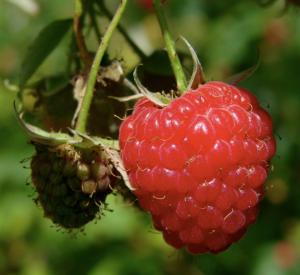 8 weeks pregnant fruit size